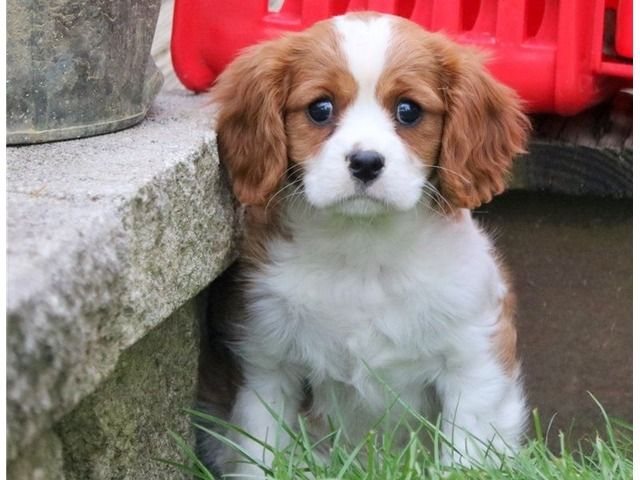 Are You Looking For The Cutest Cavalier King Charles Spaniel Puppies Cavalier King Charles Spaniel Cavalier King Charles King Charles Cavalier Spaniel Puppy