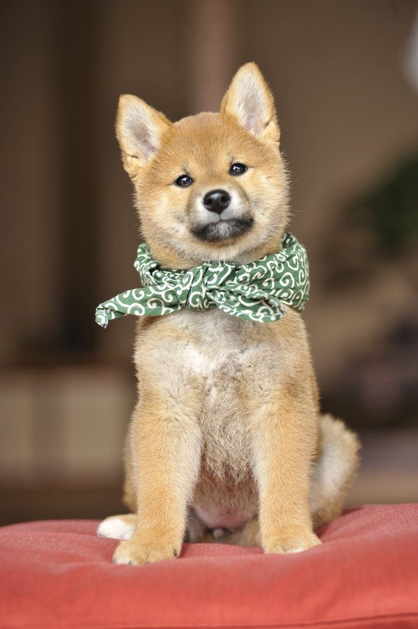 Look at this handsome Shiba Inu. That scarf look very good on you ...