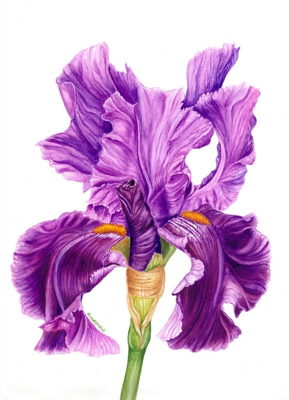 af21ee3472a4edfdc962f5243e35e109--iris-tattoo-ideas-bearded-iris Paintings Of Old Southern Homes Plantations And Mansions on evergreen plantation painting, plantation oil painting, plantation house painting,