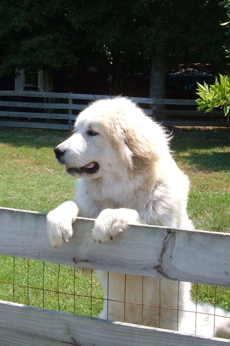Seen this pose a million times! Pyr pups take guarding very seriously. So darn cute!