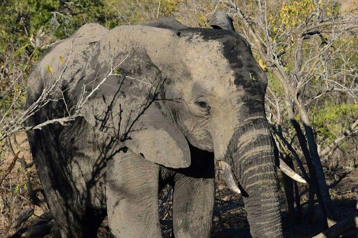 Zuid Afrikaanse Olifant
