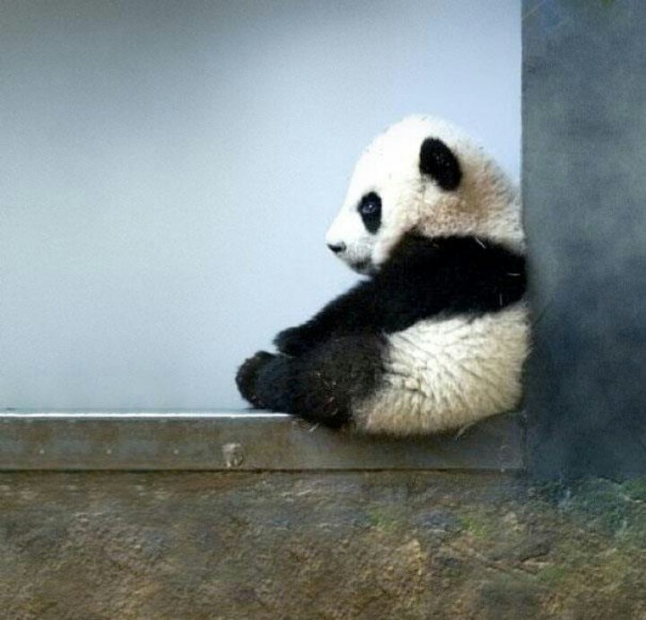 Baby Panda Pondering - Amazing Things in the World's FB page