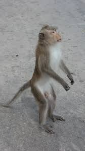 Image result for monkey standing