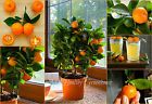SEEDS – Indoor Fragrant Ornamental Bonsai Citrus Calamondin - Does well in pots Exotic #indoorbonsai #indoorcitrus #citruscalamondin