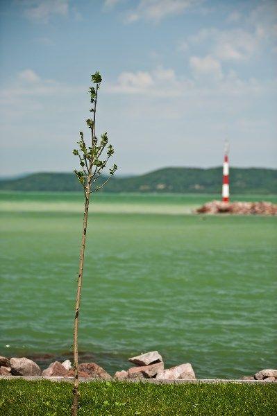 Little sapling at the Galamb-sziget [trans. Pigeon Island]/ Facsemete a Galamb-szigeten