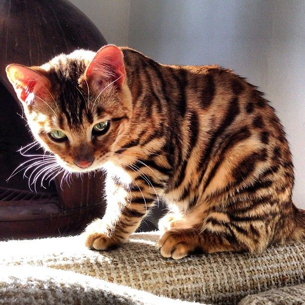 """From @toygersociety: """"This is Pippa, she's a 6 month toyger kitten & my little pip squeak at just 5 lbs.! She's a California girl, loves living by the beach & hates traffic on the 110 fwy. She's getting spayed today, wish her luck!"""" #twitterweek #catsofinstagram #cat #neko [Twitter Week! twitter.com/catsofinstagram] [source: http://instagr.am/p/VcCmAcNUiJ/ ]"""