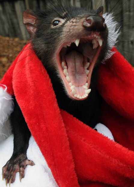 A Tasmanian devil warms himself in a Christmas hat due to the unseasonally cold temperatures at the Australian Reptile Park