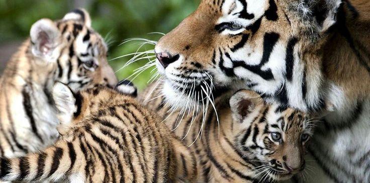 Tijger Tigre Tiger met welpjes