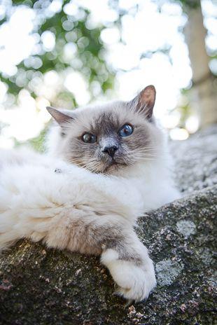 Muotokuva kissasta: Kissi, pyhä birma, alaviistosta kuvattuna. Lemmikkikuvauksen salat: kissojen valokuvaaminen - http://www.ifolor.fi/inspire_lemmikkikuvaus_kissat