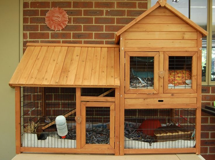 Guinea pig outside cage