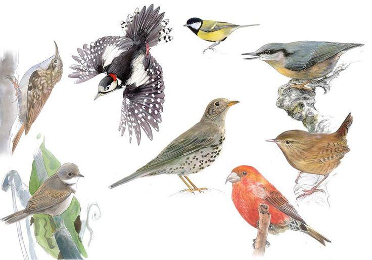 Oiseaux 3 : Grimpereau des jardins, Fauvette grisette, Pic épeiche, Mésange charbonnière, Grive draine, Sitelle Torchepot, Troglodyte mignon, Bec croisé des sapins.