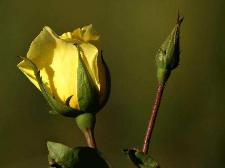 Rosebuds от dannety