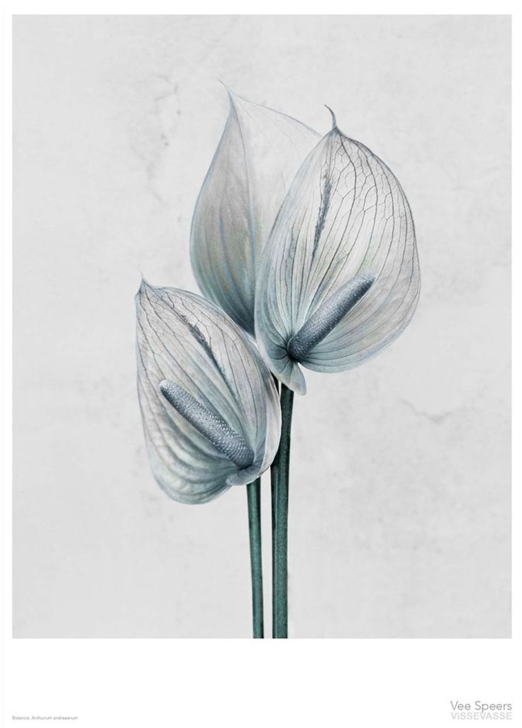 Anthurium Andraeanum by Vee Speers | Poster from theposterclub.com