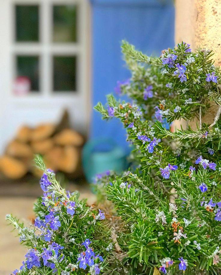 Mi romero está en flor y me tiene perdidamente enamorada! Solo espero que no sea como con la planta de albahaca que después de florecer pasó a mejor vida.  #soyunmixplantasfan