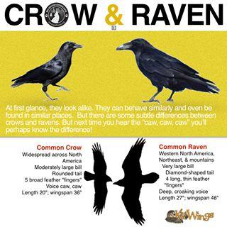 crow | raven