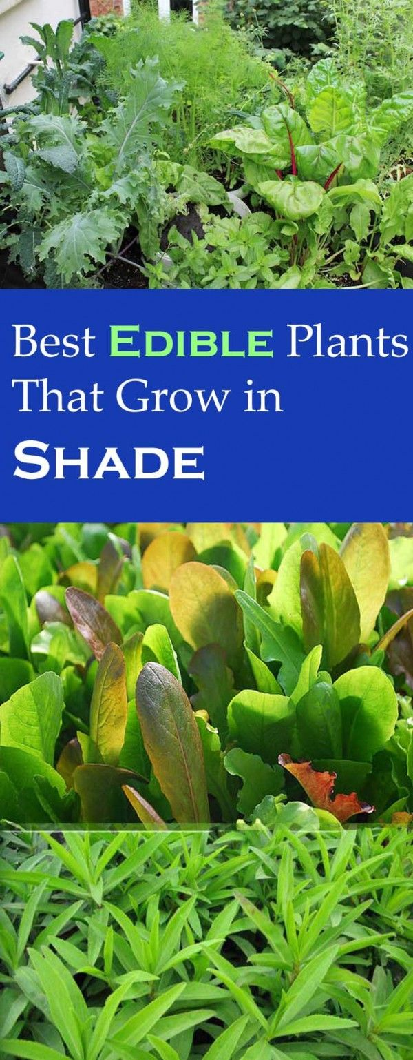 Best Edible Plants you can Grow in Shade | Gardens, Edible ...