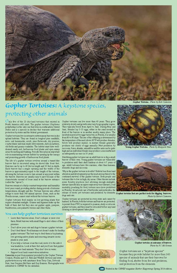 Gopher Tortoises: A keystone species, protecting other animals