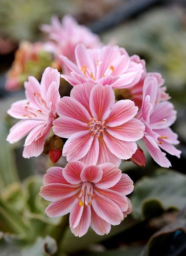Lewisia cotyledon 'Fransi' , a lovely perennial contains both solid and candy striped flowers in varying colors, held above thick fleshy leaves and stems. They really enjoy rock crevices and sharp stone slopes but will adapt readily to rock or alpine gardens or troughs.