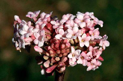 Viburnum × bodnantense 'Dawn' Kikeleti bangita