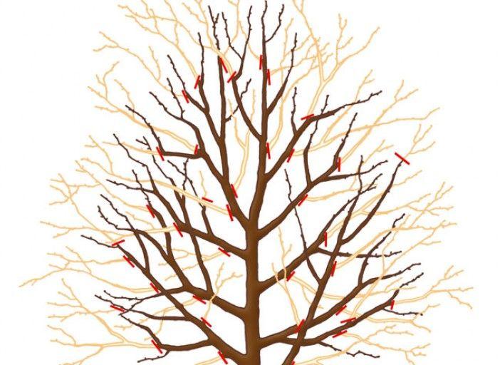Taille du poirier en hiver - M. Sinier - Rustica
