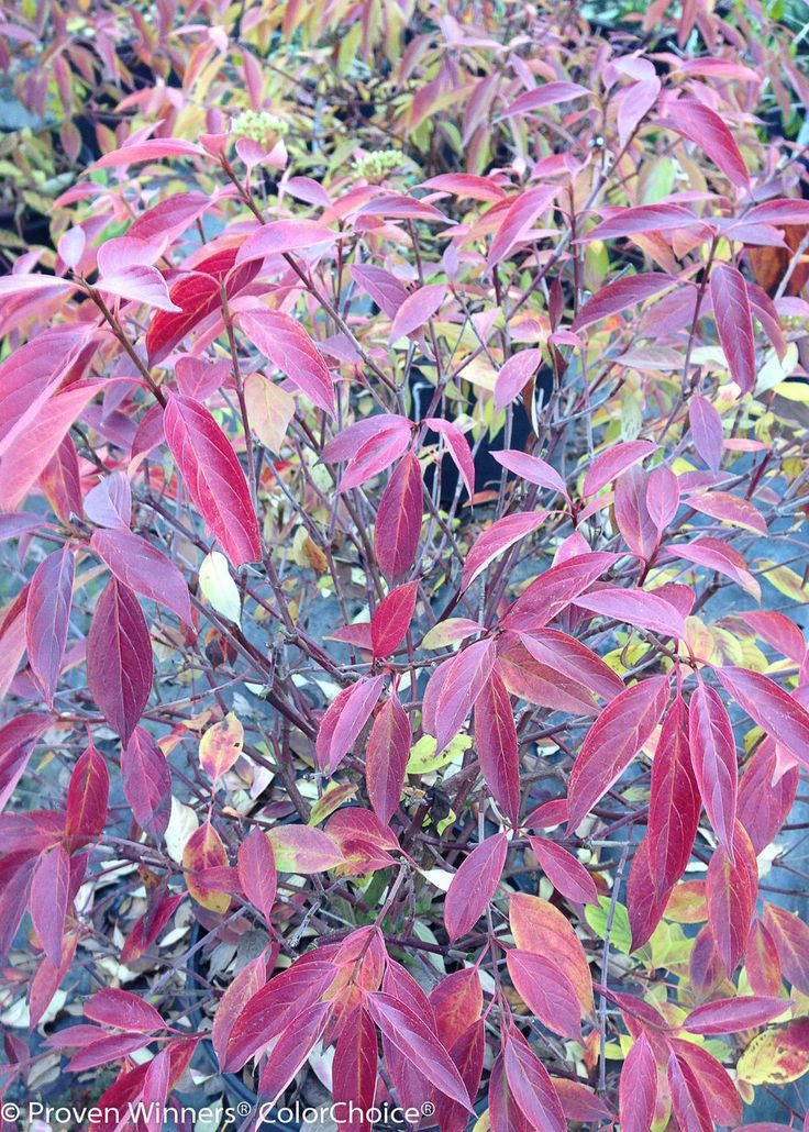 Cornus amomum silky dogwood fall color