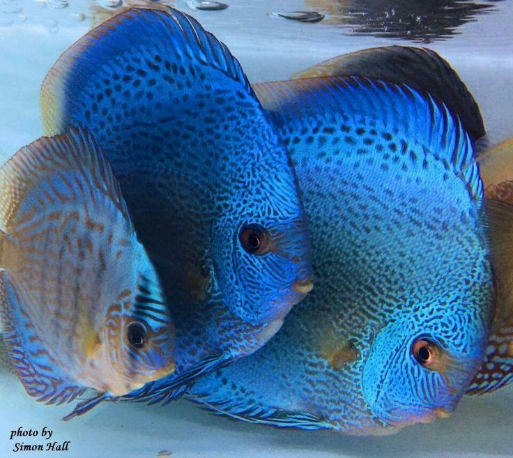 17 Best ideas about Discus Fish on Pinterest | Discus ...