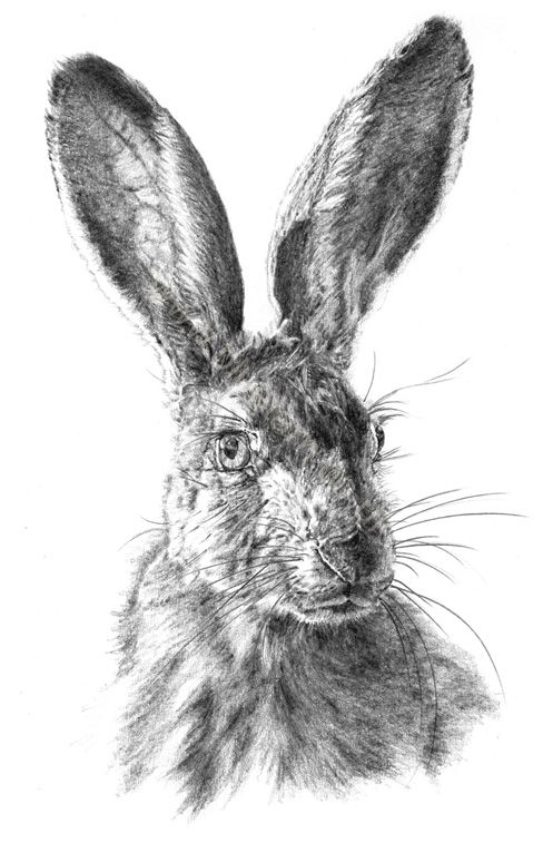 Hare - pencil drawing | Artist / Künstler: Vivienne Coleman |