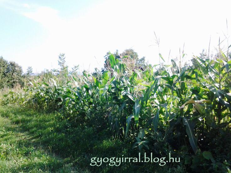 Kukorica másként
