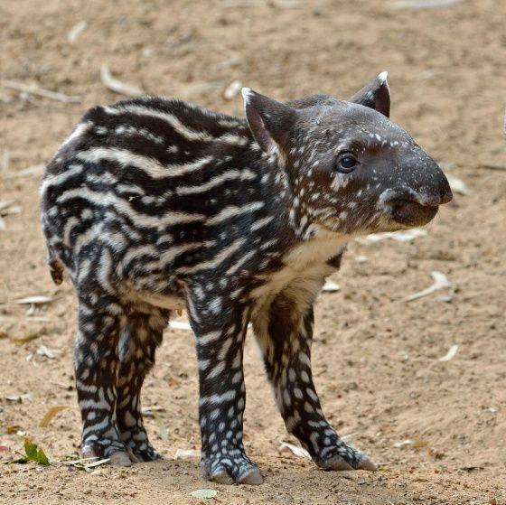 I Tapir at the Nose