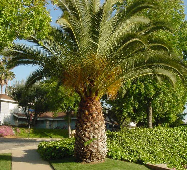 Pineapple Palm Tree Google Search Trees Pinterest