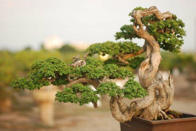 Cool little tree bonsai pinterest trees the o 39 jays for Cool bonsai tree