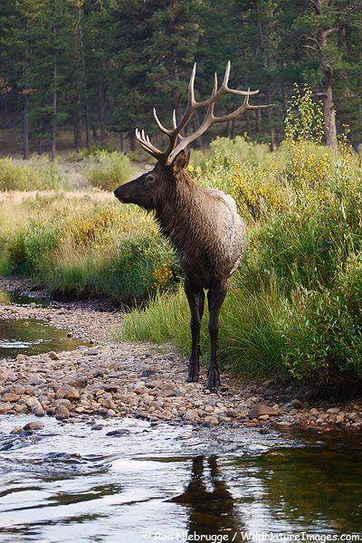 Bull Elk, Rocky Mountain National Park, Colorado.