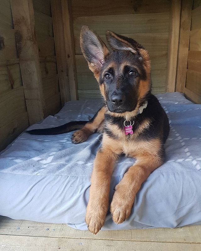12 Weeks Old And So Cute Skyegsd Germanshepherd