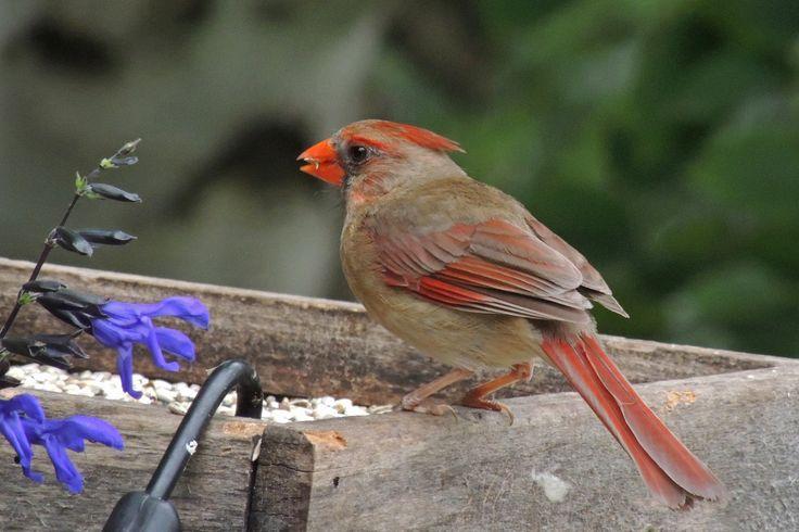 Northern Cardinal North Oaks, Minnesota ©Steve Frye