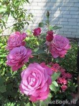 """Blue Wonder Название сорта """"Blue Wonder"""" художественным переводом с английского языка можно перевести как """"Синее чудо"""" или """"Голубая Мечта"""". Цвет этой полуплетистой, а скорее - высокой чайно-гибридной розы можно охарактеризовать как насыщенно сиреневый или сиренево-голубой, зачастую оттененный более насыщенным тоном прожилок лепестка. В саду роза не останется незамеченной не только благодаря её изысканному цвету и форме цветка, который в диаметре достигает 9-10 см, но и своему утонченному…"""
