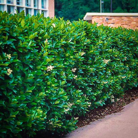 14 besten die unterschiede der kirschorbeer sorten im for Gartengestaltung chinesisch