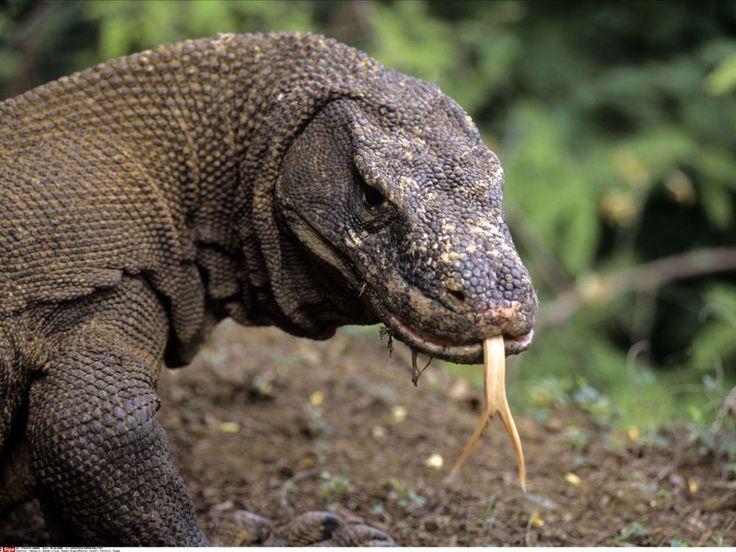 La bouche des dragons de Komodo pleine de bactéries dangereuses