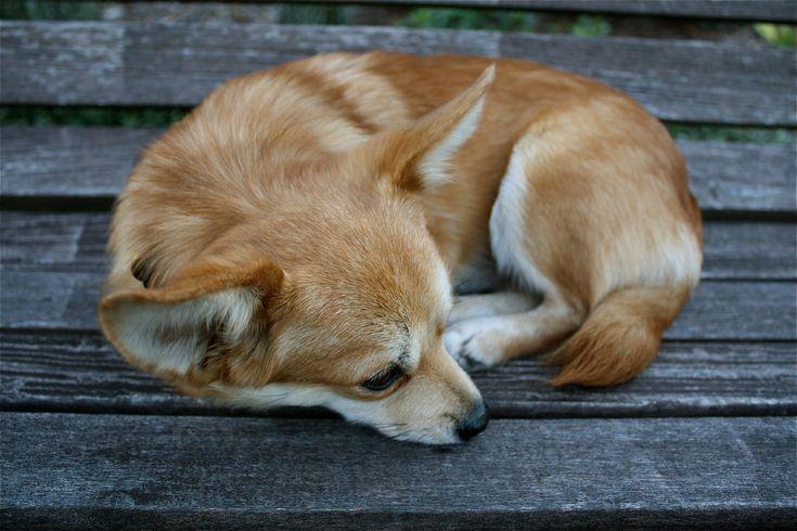 Corgi Chihuahua Mix Puppies Picture