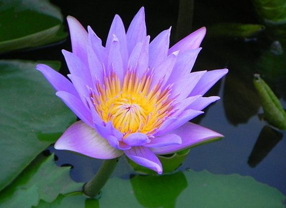 Flower Seeds Purple Lotus Flower Seeds Plant Seeds by Greenworld1