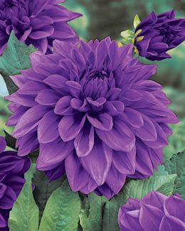 ✯ Lilac Time Dinnerplate Dahlia