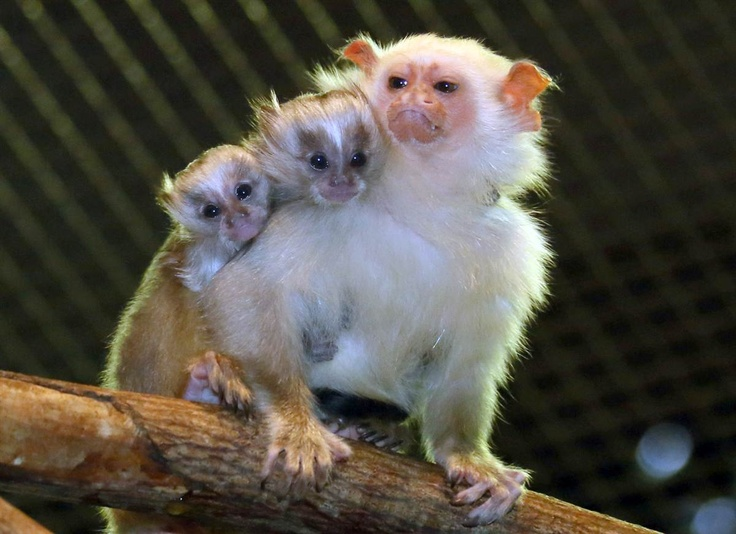 Cute Silver monkey father Silvio carries his two week old babies on his