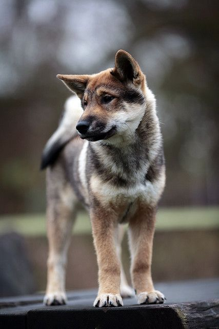 Shikoku. . .a rare breed of hunting dog developed in Japan.