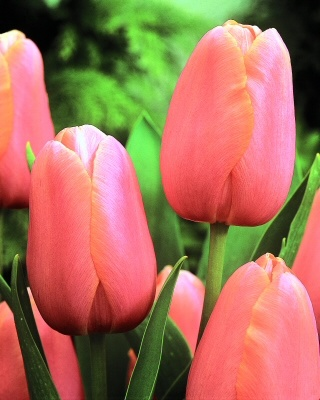Menton tulips last the longest and change colors over the weeks you have them.