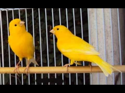 Canary singing - Best Timbrado Canary training - تغريد رائع - YouTube