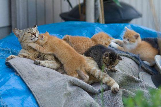 cute island mama cat nursing caring for kittens on fukuoka shore