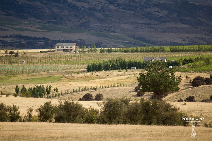 Cromwell, vineyard, Central Otago, South Island, New Zealand