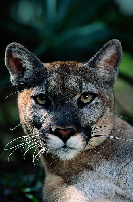An Alleged Florida Panther. Owner Frank Photograph by Michael Nichols