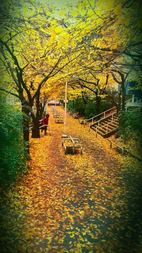 Cherry trees in fall Vancouver BC. Photo by JerrySmith