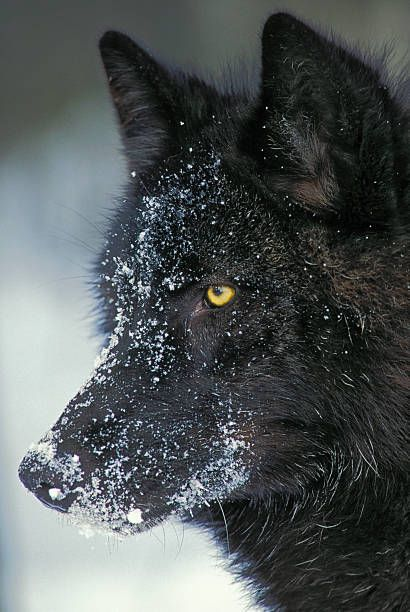 Gray wolf (Canis lupus) black color phase, winter, North America. ©	Thomas Kitchin & Victoria Hurst