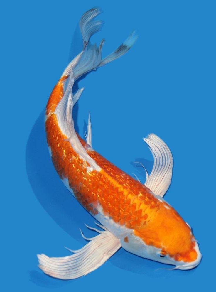 423 best koi fish images on pinterest fish aquariums for Hariwake koi